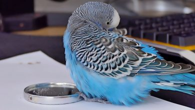 Can you get lung disease caused by feathers of Budgie bird