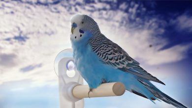 Can you travel with a Budgie