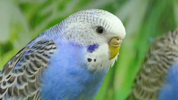 Can you travel with a Budgie bird?