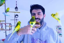 Photo of How to Regain Trust of a Budgie after you lost once