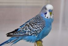 IS YOUR BUDGIE IN GRIEF Signs of a grieving budgie
