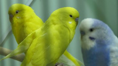 Photo of Rescue Budgie Adoption or Buy Budgie from the Pet Store