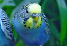 Photo of Smart Bird – Interesting fact about the Budgie memory