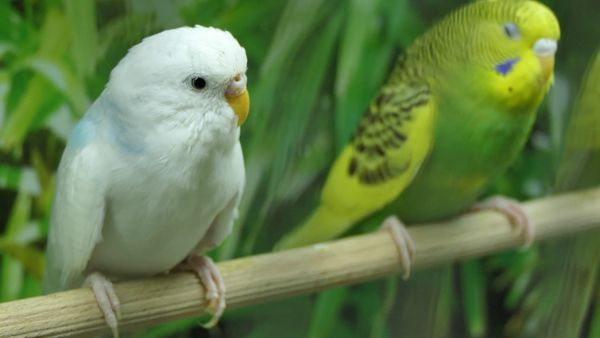 Rescue Budgie Adoption