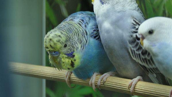 Rescue Budgie Adoption or Buy Budgie from the Pet Store