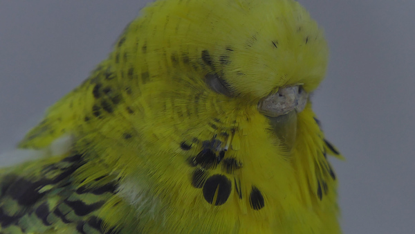 WHY DOES MY PARAKEET BUDGIE PUFF UP feathers?