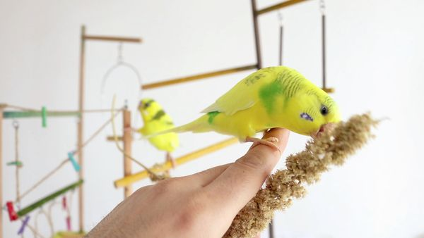 Budgie scared, Why is Your Budgie scared of you