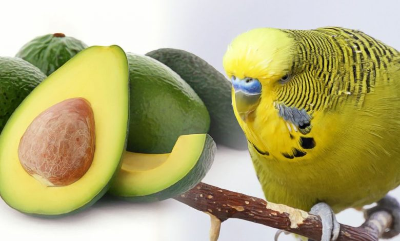 BIRDS POISON AVOCADO IS LETHAL FOR BUDGIES