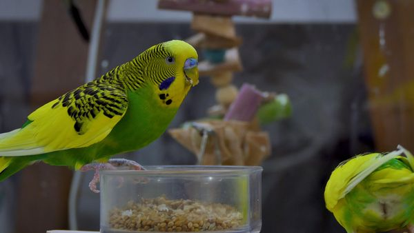 BIRDS POISON: AVOCADO IS LETHAL FOR BUDGIES