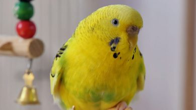 Budgie Parasites - Health Problems of Crusty Beaks
