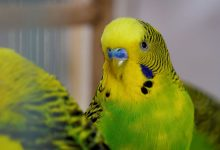 Photo of BUDGIE DIED FROM STRESS?! HOW BUDGIE CAN DIE