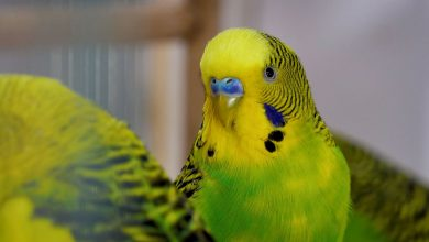 BUDGIE DIED FROM STRESS! HOW BUDGIE CAN DIE