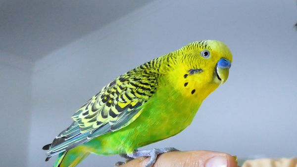 LOST BIRD? HOW TO GET ESCAPED BUDGIE BIRD BACK HOME
