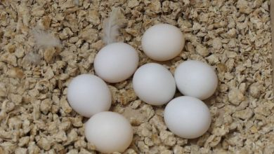 How often do Budgies lay Eggs Everything about Budgie Eggs