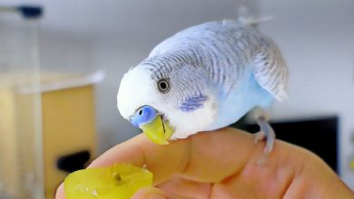 Photo of LOST BIRD? HOW TO GET ESCAPED BUDGIE BIRD BACK HOME