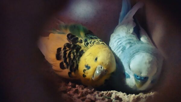 How often do Budgies lay Eggs? Everything about Budgie Eggs breed