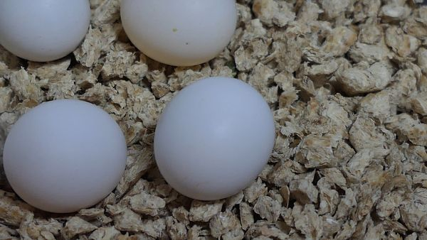 Budgie eggs are so small