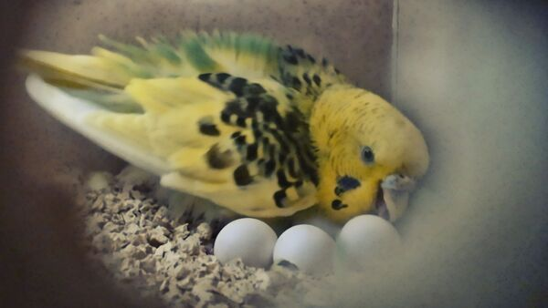 How often do Budgies lay Eggs? Everything about Budgie Eggs