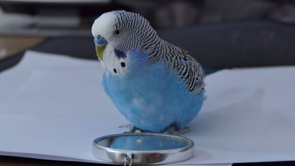 Your Budgie died? How to prevent it? What is the cause? One of the worst things you can do to your budgie is exposing him to stress.