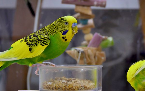BUDGIE DIED FROM STRESS?! HOW BUDGIE CAN DIE