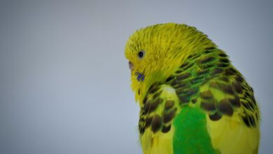 BUDGIE FEATHERS - EVERYTHING YOU SHOULD KNOW ABOUT