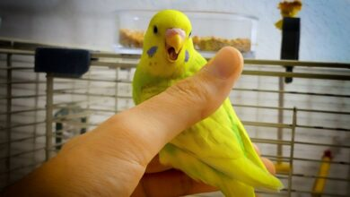 HOW TO STOP A BUDGIE FROM BITING BEST ADVICE