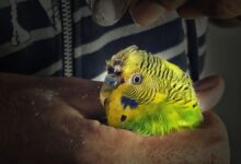 HOW TO STOP BIRD BLEEDING Save your Budgie now!