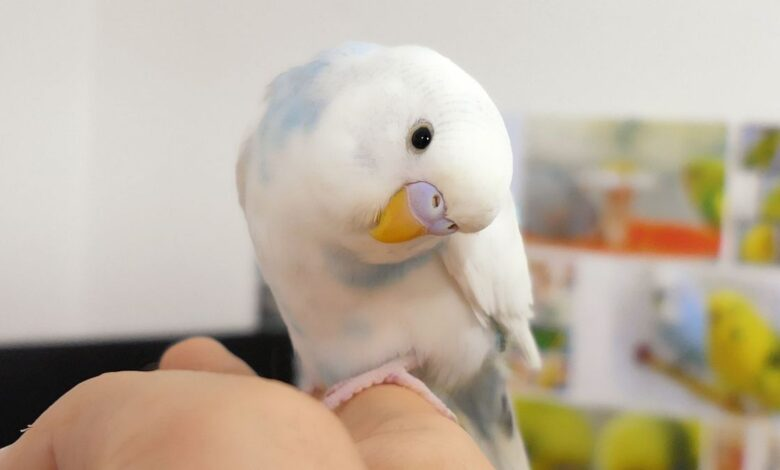 How do I Stop My Budgies from Screaming Tips & Tricks