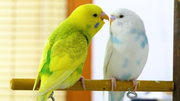 HOW TO STOP A BUDGIE FROM BITING? BEST ADVICE