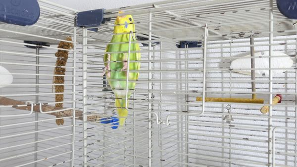 budgie cage screaming