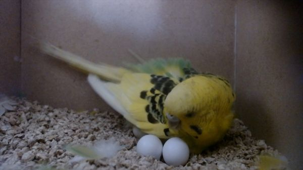 EXCESSIVE EGG LAYING REASONS AND HOW TO PREVENT TOO MANY EGGS IN BUDGIES