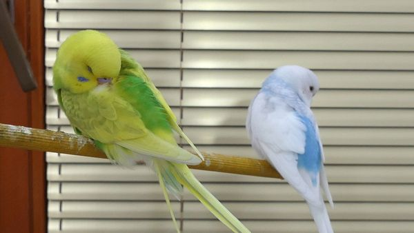 NORMAL BUDGIE BEHAVIOUR, what is normal