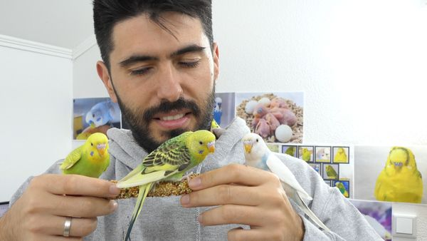 NORMAL BUDGIE BEHAVIOUR, what is normal?