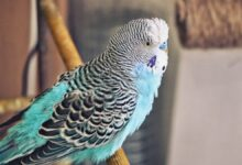 Budgie Moulting! Why Budgies losing feathers