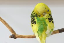 DEAD BUDGIE – SYMPTOMS OF A DYING BUDGIE