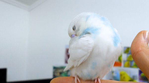 Signs and symptoms to look for in a dying budgie
