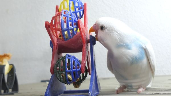 What are Budgie Stress Bars