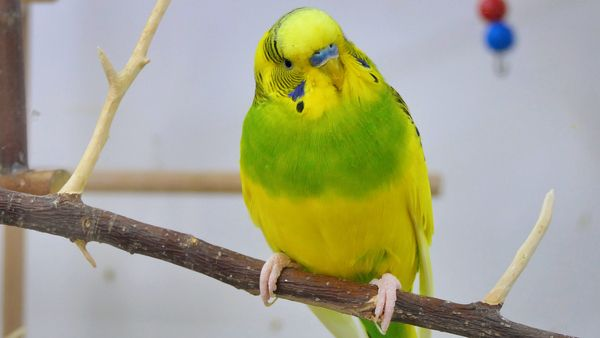 How to Calm a Stressed Budgie What Causes Stress