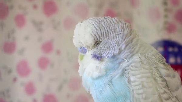 Budgie Moulting! Why Budgies losing feathers?