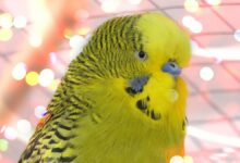 Budgie Body Language - Budgie behavior