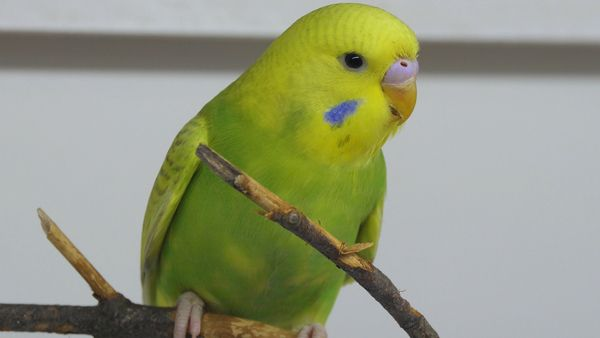 Can budgies eat or what they can not, even deadly? It is better to be safe than sorry. Some plants are beneficial as a whole while others have parts that are toxic.