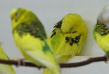 BUDGIE SLEEP ROUTINE Do Budgies need a night light
