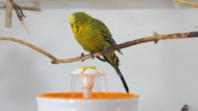 CAN BUDGIES BATH IN WINTER How often Is it safe