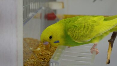 SEEDS VS PELLETS WHAT IS HEALTHIER FOR BUDGIES