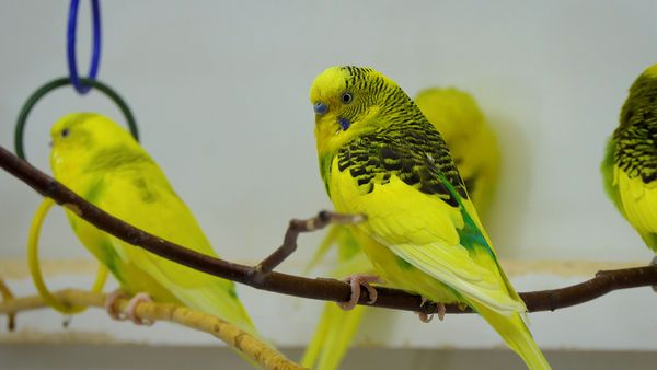 BUDGIE POOP GUIDE FOR BETTER HEALTH