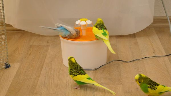 An easy and innovative way of bathing your budgie
