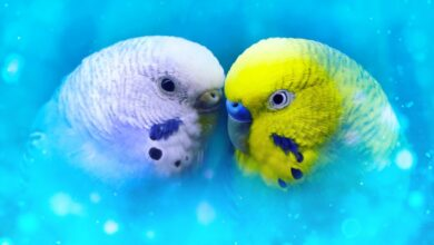 Can a Male and Female Budgies Live Together