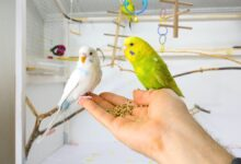 Can a Tamed Budgie Help You Train Another One