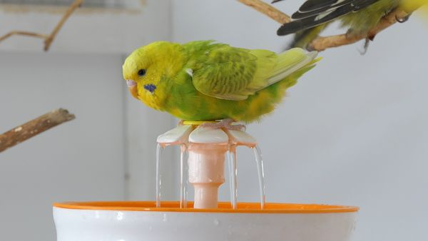 Fountain Bathing for Budgies Why is it easy to bathe using a Fountain