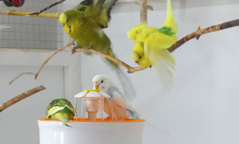 Fountain Bathing for Budgies Why is it easy to bathe using a bird Fountain